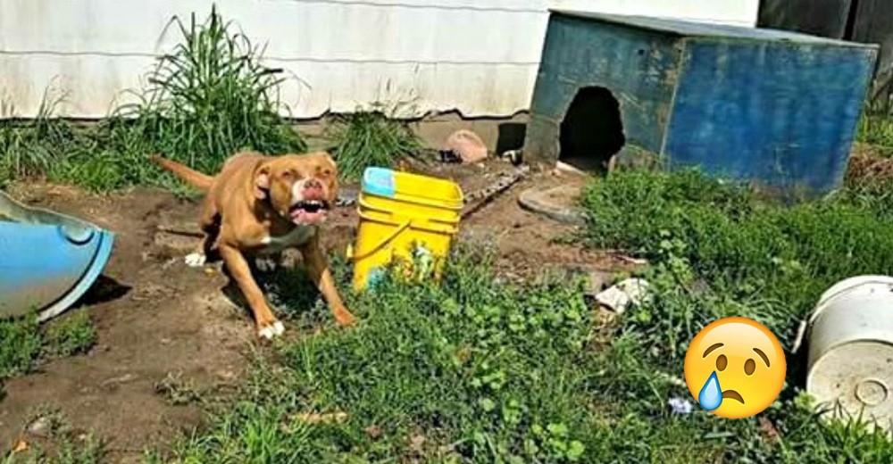 perro-encadenado-pitbull