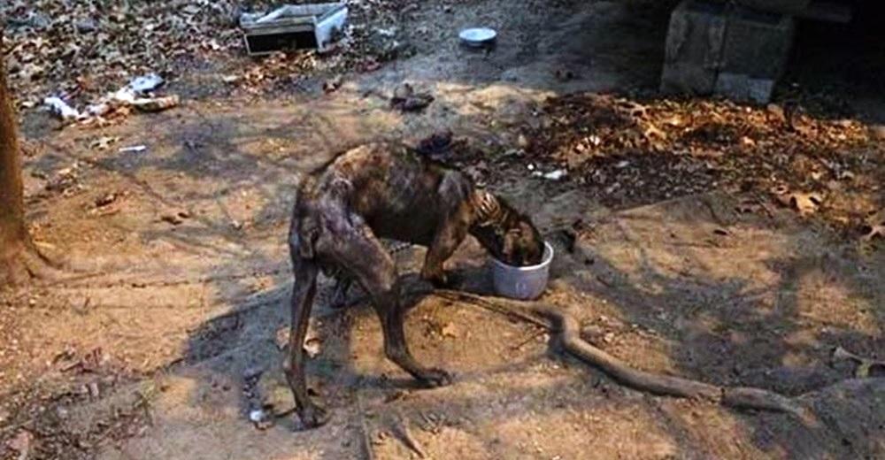 El drama del perrito que estuvo atado a una corta cadena por 4 años en medio de hambre y dolor