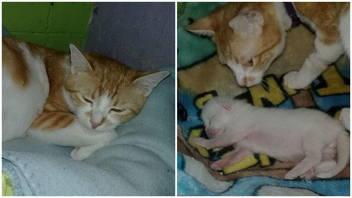 Advierte del embarazo traumático de su gata, luchó por la vida de sus bebés de forma admirable
