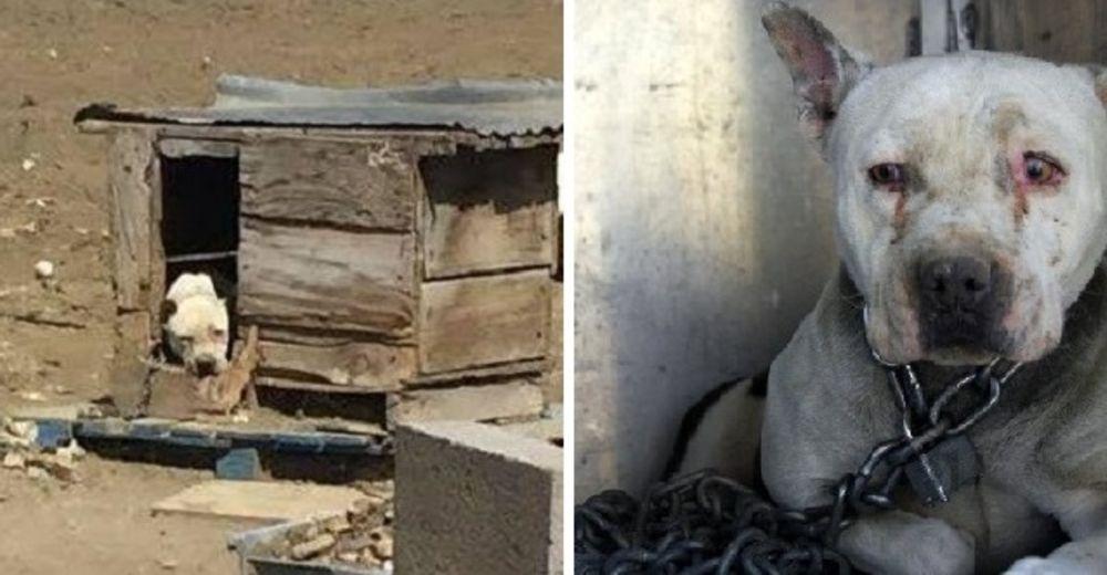 La triste historia de la perrita encadenada de por vida y con terror hacia los humanos