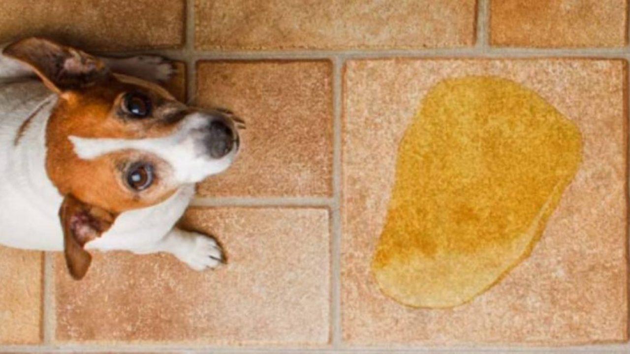 Elimina El Olor De La Orina De Tu Perro Con Estos Productos Naturales Te Sorprenderás Zoorprendente