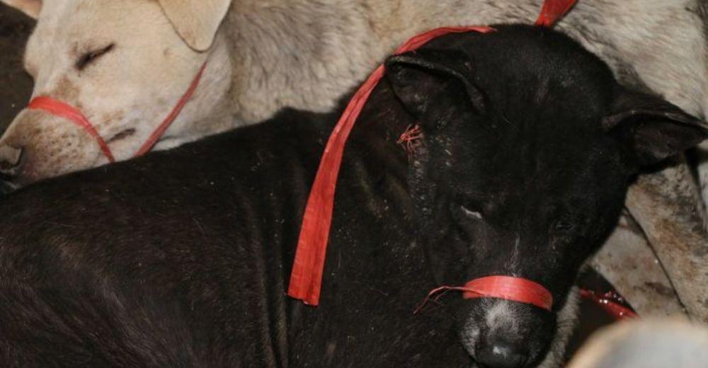 Dan de comer carne de perro a los turistas – Mueren más de 70.000 perros al año