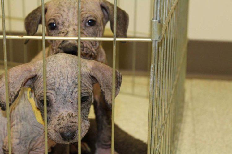 cachorros rescatados sarna rescue dogs rock ny rescate extremo activismo veterinario mane puppy puppies