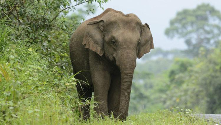 Resultado de imagen para elefante de sumatra