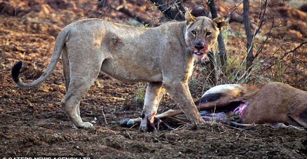 La reacción de una leona tras darse cuenta que la antílope que cazó estaba embarazada