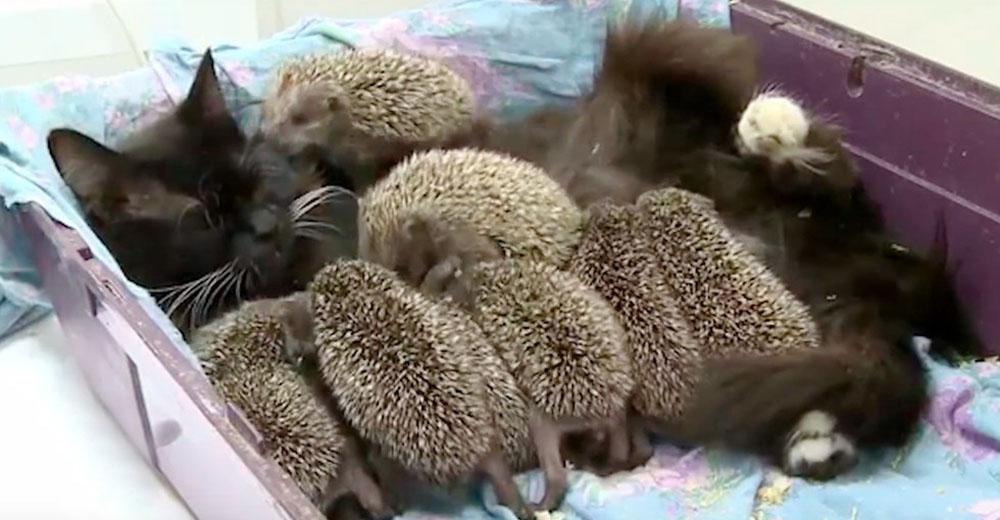 8 erizos huerfanitos desolados rechazan el biberón, pero una gata les ofrece amamantarlos