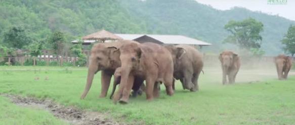 estampida de elefantes manada corre a saludar al nuevo bebe Dok Geaw Elephant Nature Park rescate huerfano rescue orfan asian elefant