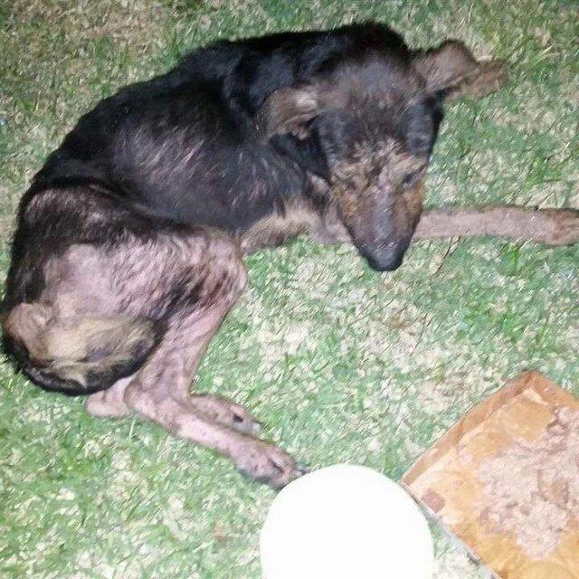 perro paralizado camina busca hogar Hugey Rescue Dogs Rock NYC pastor aleman discospondylitis perros rescatados inspirador emocionante animal activismo