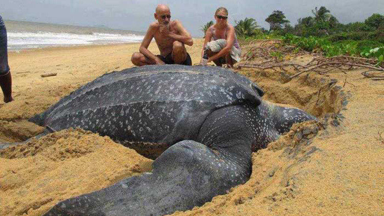 tortuga laud 700 kg aparece muerta playa española españa barceona calella maresme mar mediterraneo mas grande mundo segunda primera raro rarisimo fenomeno grua montacargas mover universidad autonoma de carcelona agents rurals departamente de agricultura giant leatherback turtle found dead in spanish beach strange out of area