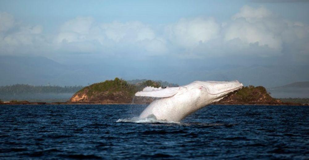 migaloo ballena jorobada albina es padre de dos bebés australia nueva zelanda humpback whale albino fathered two babies calves new zealand