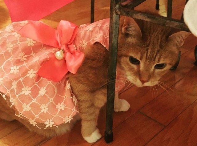 familia realiza un fiesta epica de quinceañera para su gata y es adorable y muy gracioso party birthday cat