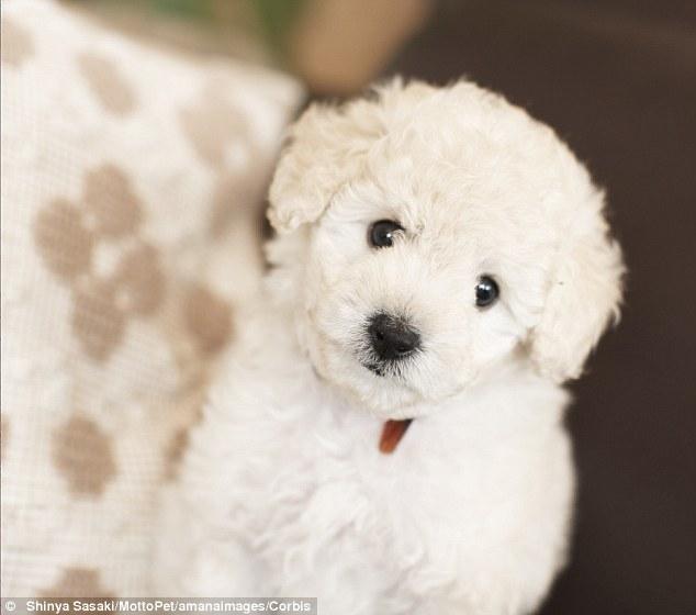 hombre impactado poodle mini toy compro roedores con esteroides argentina la salada hurones comadrejas estafa ferrets sold caniche