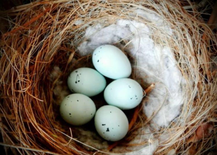 pájaros nidos colillas cigarro universidad autónoma méxico repelente garrapatas parasitos nicotina nest using cigarrette butts nicotine repellent ticks parasites