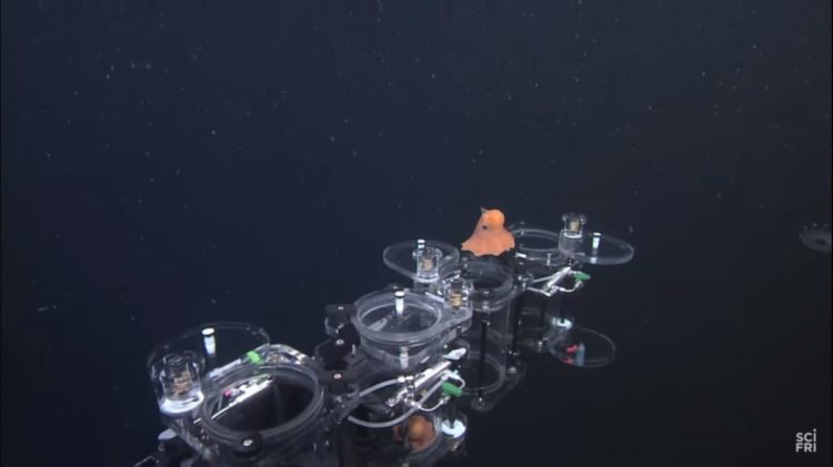 descubrieron un nuevo pulpo adorable personaje pearl buscando a nemo Stephanie Bush of the Monterey Bay Aquarium Research Institute Opisthoteuthis finding nemo real life octopus adorabilis