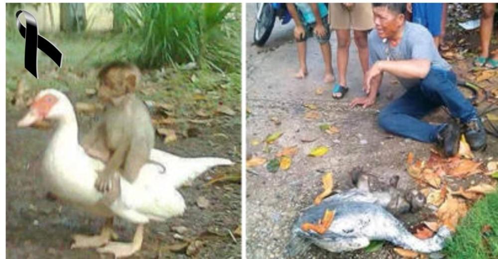Un pato y un mono demuestran su lealtad hasta la muerte dejando desconsolados a millones