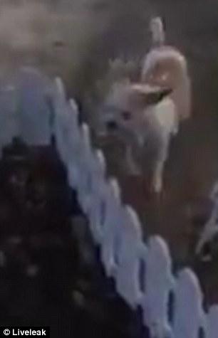 estremecedor perrita cava una tumba y entierra a su cachorro muerto chihuahua