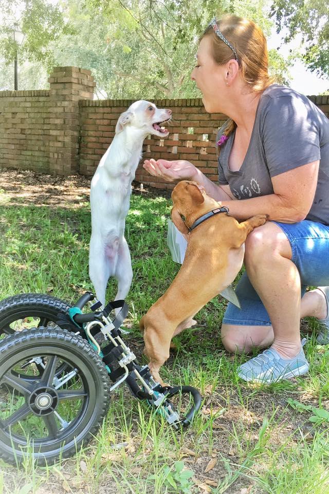 perrito nació sin patas delanteras pippin camina saltando Loveyloaves Special Needs Rescue and Sanctuary no sabe que es discapacitado camina saltando en patas traseras
