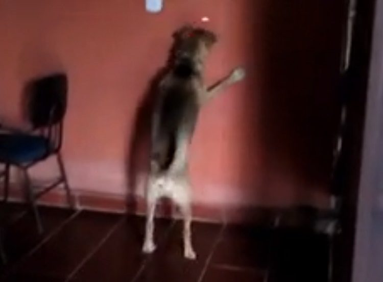 perro loco pastor aleman persigue láser se pega contra pared advertir peligros usar láser con perros crazy german shepherd chases laser warning dogs