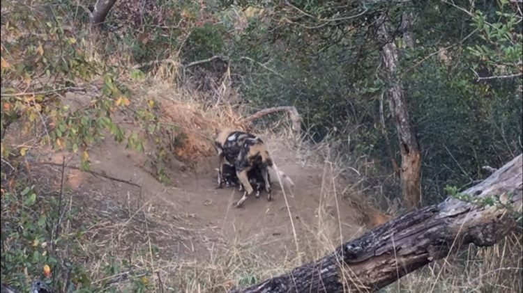 Dylan Auerbach presencia perros salvajes de la sabana comiendo cachorros salen madriguera comer desayuno Thornybush Private Nature Reserve in South Africa's Greater Kruger National Park Massimo da Silva