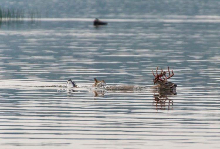 lobo persigue alce venado carrera acuática lago pero lo piensa mejor y se devuelve derrotado wolf chases deer swimming to the lake
