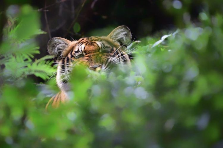tigre palido extraño unico mundo visto en india por fotografo Nilanjan Ray Belinda Wright Nilgiri Tamil Nadu India Ranthambore Parvish Pandya morfismo de color animales en peligro de extincion cautiverio estado salvaje libertad fotografias raras