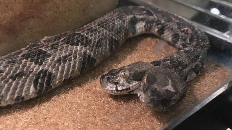 serpiente cascabel de dos cabezas descubierta en arkanzas y llevada a cautiverio cientificos adoptaron baby rattlesnake discovered scientists