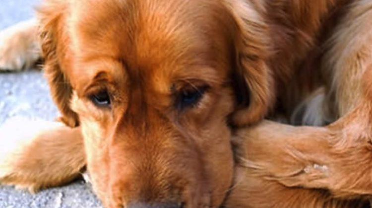 familia china adopta golden retriever no duerme cruel historia abandono confianza refugio sedado