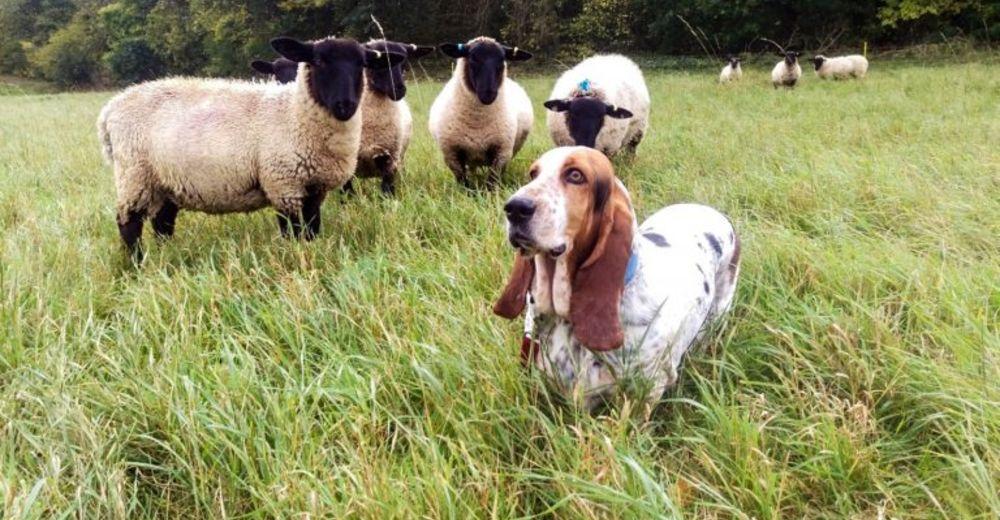 Lady, la mejor perra ovejera… y no se da cuenta de lo buena que es guiando a su rebaño