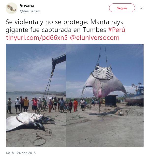 gigantesca mantaraya oceanica atrapada por accidente en peru manta trust marine megafauna foundation