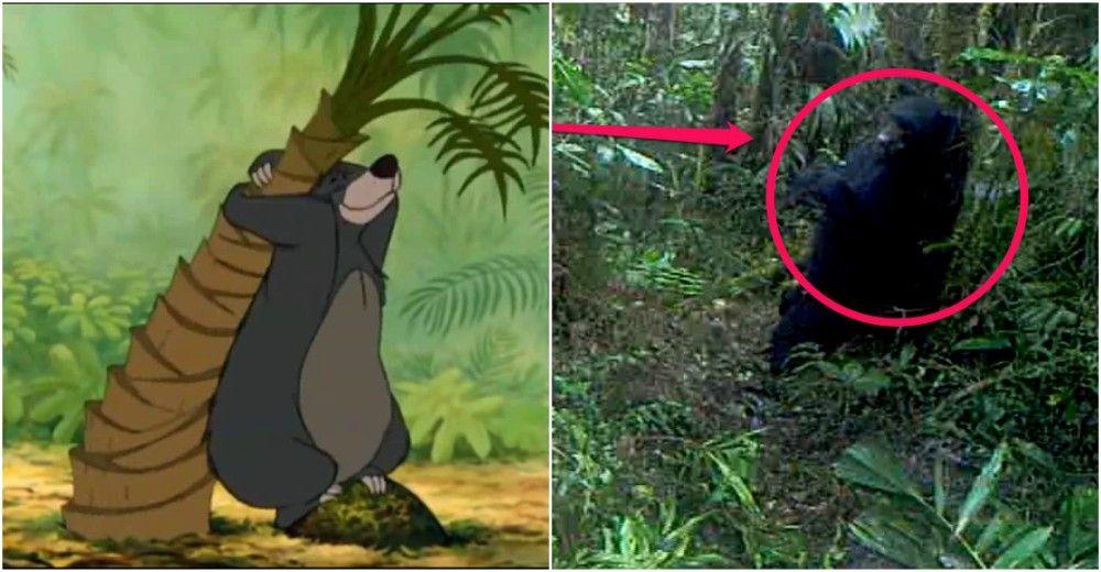 oso imita perfectamente a balu del libro de la selva al rascarse la espalda con un arbol Reserva Dracula Ecuador