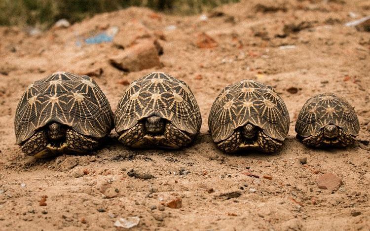 rescatadas mas de 1000 preciosas tortugas de la india traficadas a china para ser amuletos o exquisiteces , Bangalore