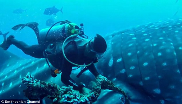 equipo de buzos encuentran un tiburon ballena atrapado en una cuerda de pesca mal descartada y sorprendentemente el animal coopera para su liberacion divers find and rescue whale shark tangled fishing line