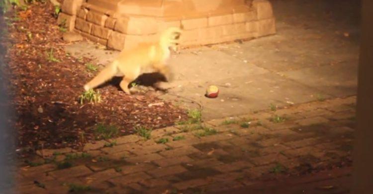 zorros bebe juegan pelota tenis camara oculta naturaleza salvaje tiernos cachorros caught baby fox pup play tennis ball