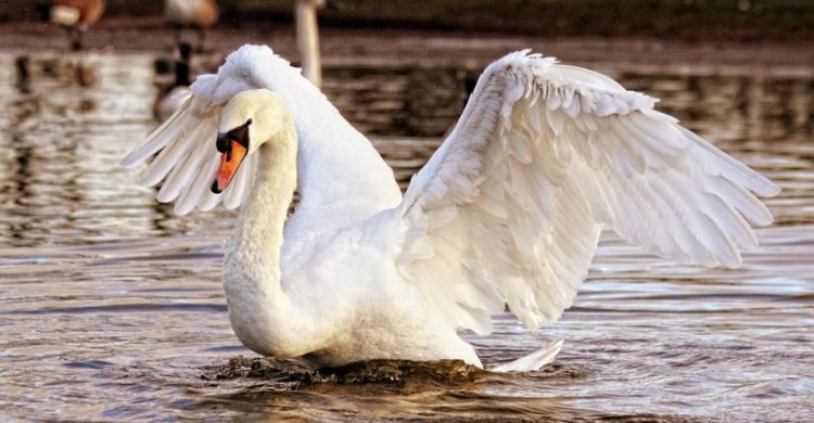 alimentar a las aves silvestres con pan blanco las esta matando esta es la razon ala de angel deformidad genetica