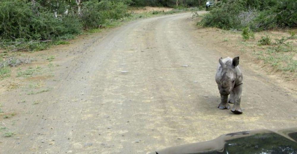 Al ataque… este bebé rinoceronte quiere causar terror – El problema es que se ve muy tierno
