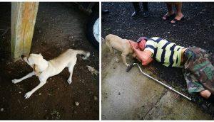 Una perrita corre en medio del tráfico arriesgando su vida, rogaba por ayuda para su dueño