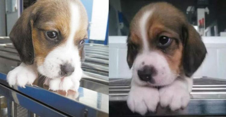 clones de cachorros podria ser una posibilidad compañia sinogene trabajan 1er clon beagle longlong dog puppy pet