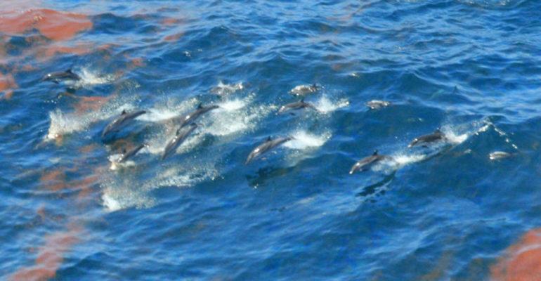 una comunidad entera de delfines en galveston bay envenenados por quimicos de las compañias petroleras liberados durante huracan harvey Valero Energy, ExxonMobil and Arkema, Chevron Phillips