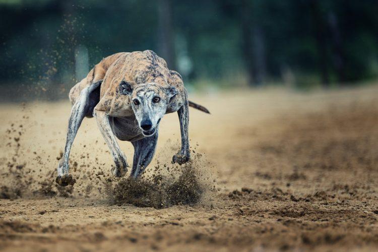 carreras galgos verdad crueldad horror maltrato abuso dolor industria dinero ganancia perseguir competencias dolor esteroides inhumano perros