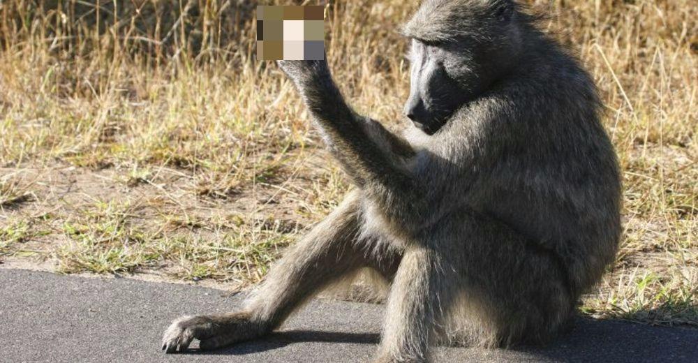 Uppss – Este mono tiene un peculiar y grosero modo de espantar a los turistas
