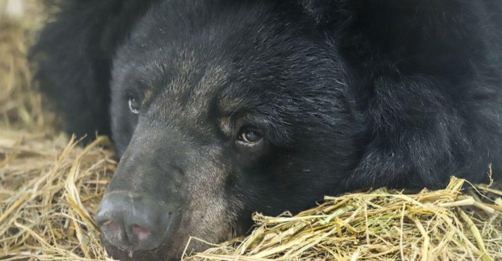 oso que perdio ambas patas delanteras disfruta su nueva vida rescate, Hai Chan, Four Paws International vietnam bilis granja medicina tradicional china bile farm bear exploitation