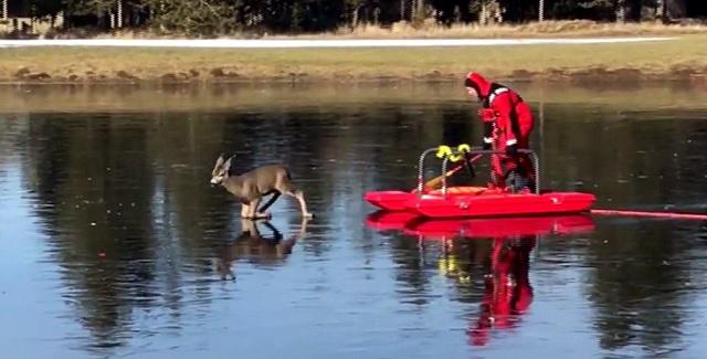 departamento de bomberos de sunriver en oregon rescatan un venado atrapado en el hielo delgado y resbaloso con un nuevo tipo de trineo de rescate