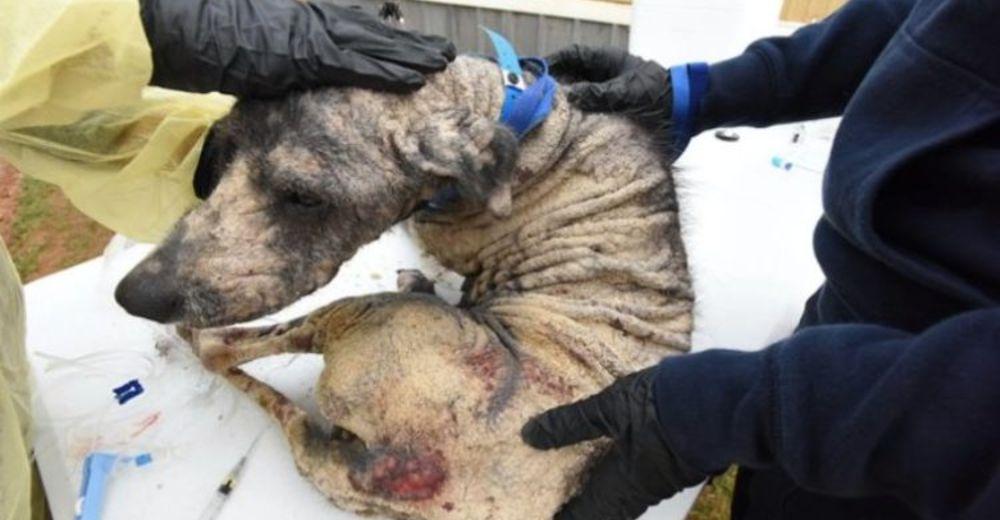 «No sabía ser un perro» –Rescatan una perrita amarrada con la peor sarna que se haya visto jamás