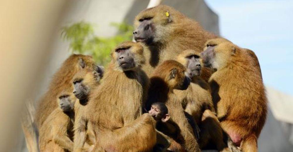 52 babuinos escaparon del zoo de paris esta semana recordatorio de la astucia y deseo de libertad de estas criaturas vincennes grand roche