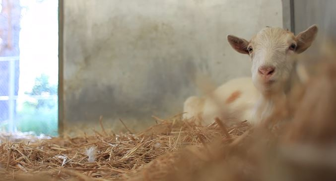 la amistad entre una cabra llamada mr g y un burro llamado jellybean la cabra casi se muere de hambre y depresion cuando la separan de su amigo