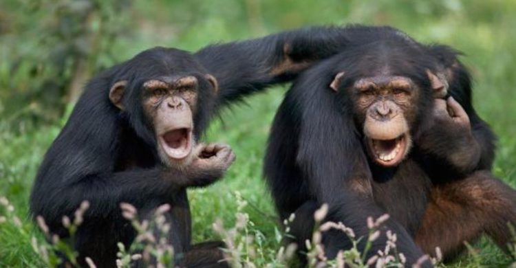 los chimpances tambien dicen groserias y usan malas palabras estudio Project Washoe Dr. R. Allen Gardner and Beatrix T. Gardner lenguaje de señas primates swearing is good for you chimpancees chimps dirty sign language curse