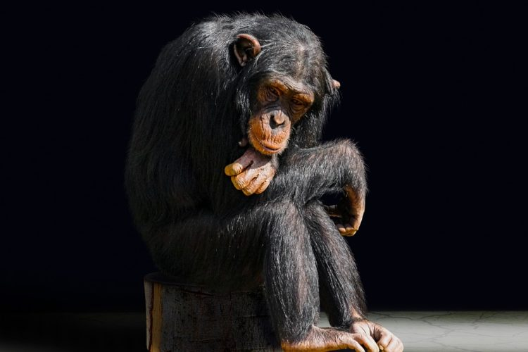 los chimpances tambien dicen groserias y usan malas palabras estudio Project Washoe Dr. R. Allen Gardner and Beatrix T. Gardner lenguaje de señas primates swearing is good for you chimpancees chimps dirty sign language curse