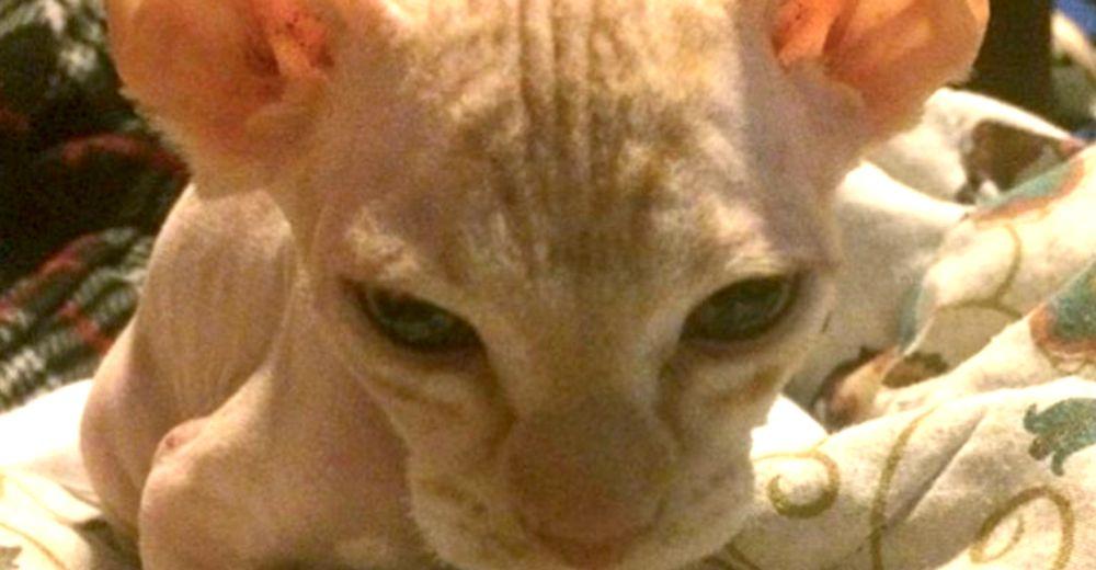Estafan a una mujer que pagó más de 500 dólares por un gato esfinge