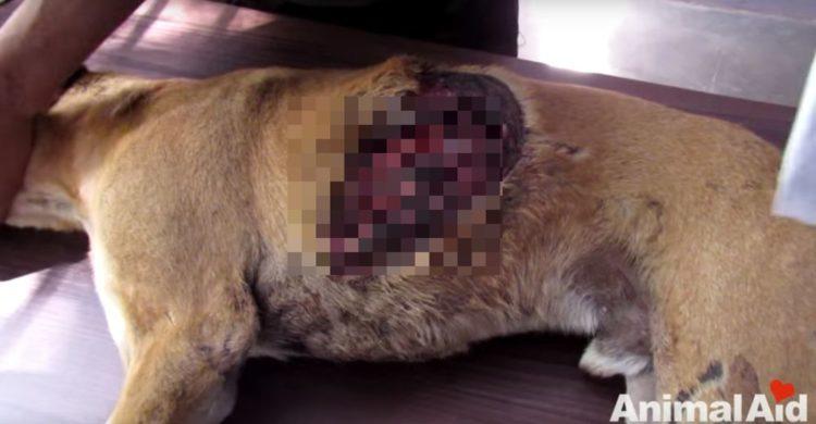 rescatado perro Tony con pulmones colapsados por humo en milagrosa operacion imagenes fuertes animal aid unlimited India