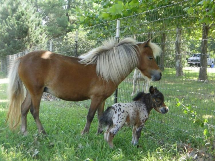 itty bitty hope el caballo mas pequeño del mundo rompe record pero tiene salud perfecta caballo de terapia Diana Gilger Jazz Mini Hooves of Love Linda James Woods world tiniest horse
